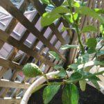 【家庭菜園】#4 レモンの栽培+植え替え