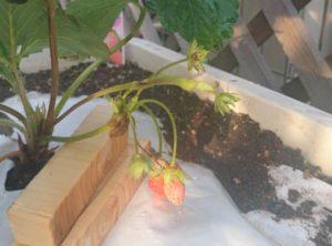 苺の実-宝交早生-甘みがあり小ぶりの実が特徴