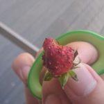 【家庭菜園】#5初イチゴ収穫