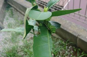 伊予かんについていたアゲハ蝶の幼虫
