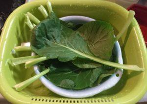 スーパーで売っている小松菜より1.5倍ほどの大きさの葉になりました