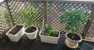現在は上の4つのプランターで栽培を行っています。 ネギは思いのほか成長しなかったため、別のものに差し替え予定です。