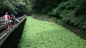 川べりには広いわさび畑が広がっています