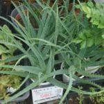 【家庭菜園】アロエの鉢植えを買ってきました