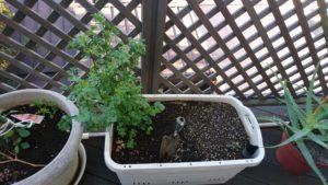 近所のスーパで買ったパクチーの根を植えたもの(中央)とニラ(右)