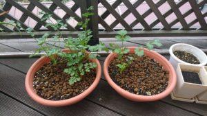 小鉢のパクチー(12/8時点。12/2の収穫とほぼ変わらない状態になっています)