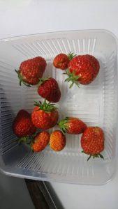 収穫したイチゴの果実(19/5/12)