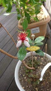 花を咲かせるフェイジョアの様子(2091/06/19)