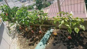 実をつけ続けるパプリカの様子  (2019/9/7)  ※この日は4個収穫できました。