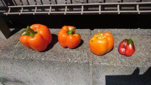 4回目の収穫したパプリカ (2019/9/7)※3回目にも3個ほど収穫しましたが、撮影忘れてしまいました。。