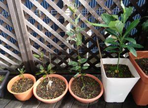 成長するリンゴ、アボカドの様子(2019/9/23) ※一番左の鉢のリンゴの苗が1本枯れてしまいました