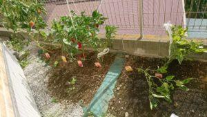 実をつけるパプリカの様子(2019/9/23) ※台風17号の影響で苗が倒れてしまい、補強を行いました
