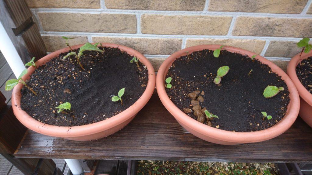 株がたくさん密集していたので、少し大きめの鉢に植え替えました(2020/4/12)