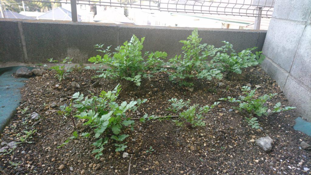 植替えた苗の根が土に定着したパクチーの様子(2020/3/19)