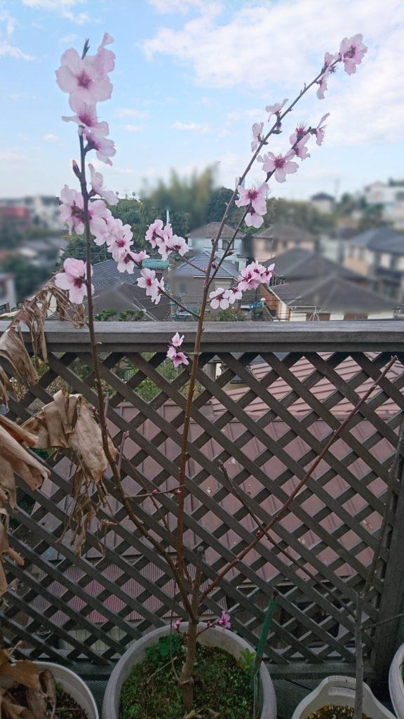 アーモンドの開花の様子(2020/3/20)
