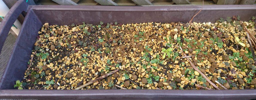 後から2つ芽を出し、合計3つの発芽になりました2020/3/26)