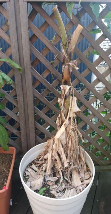 アイスクリームバナナの枯れた先端の葉を切りました(2020/4/30)