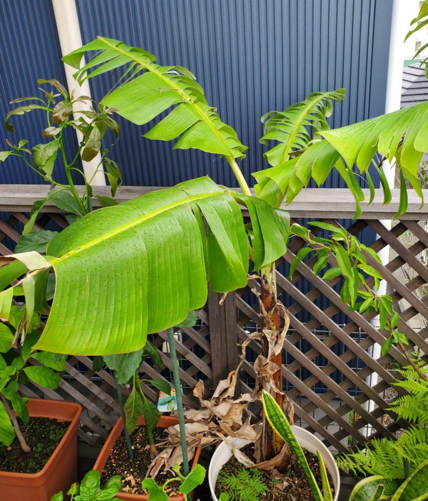 葉を増やしていくアイスクリームバナナのようす(2020/7/4)
