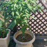 【家庭菜園】#3 ピーマン収穫+プランター追加