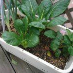 【家庭菜園】小松菜の繰り返し(かき取り)収穫