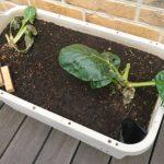 【家庭菜園】小松菜の収穫を終えて、ニラの栽培を始めました