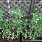 【家庭菜園】野菜・樹木の成長経過(19年2月~4月上旬)