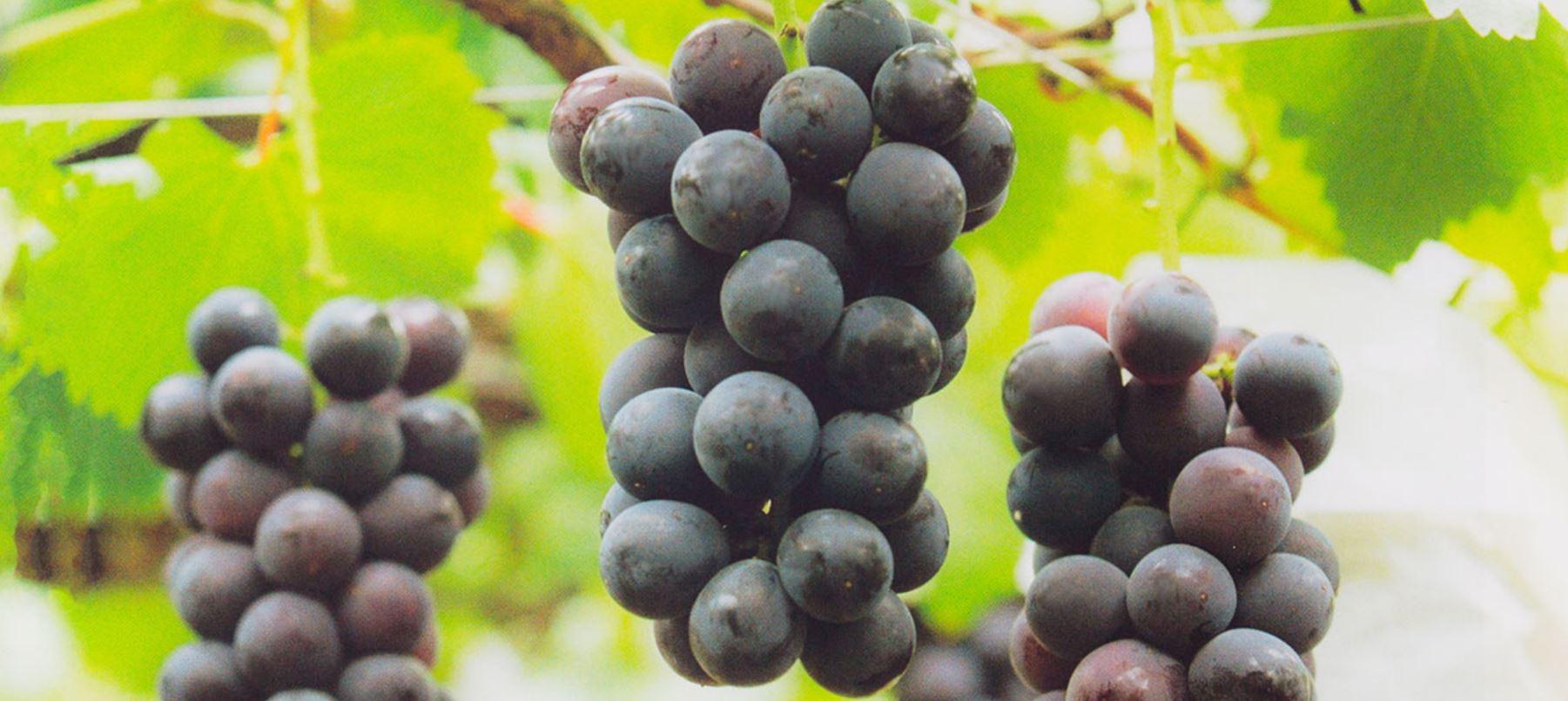 葡萄の果実