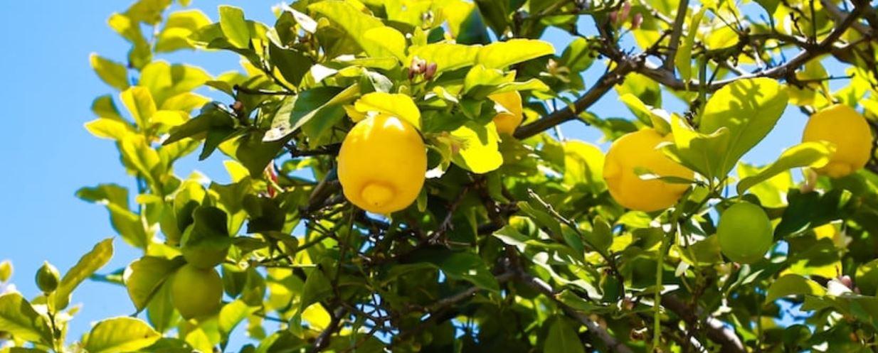 青い空とレモンの果実