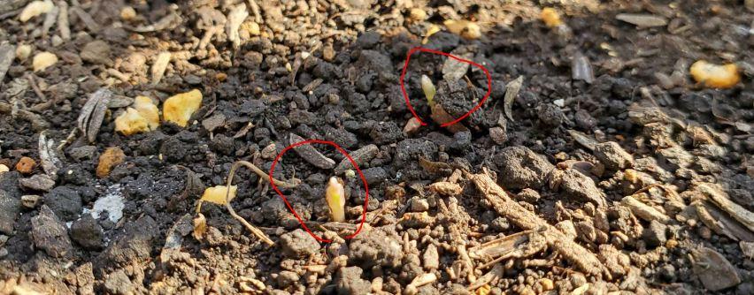 本当に芽が小さいので気づきにくいです
